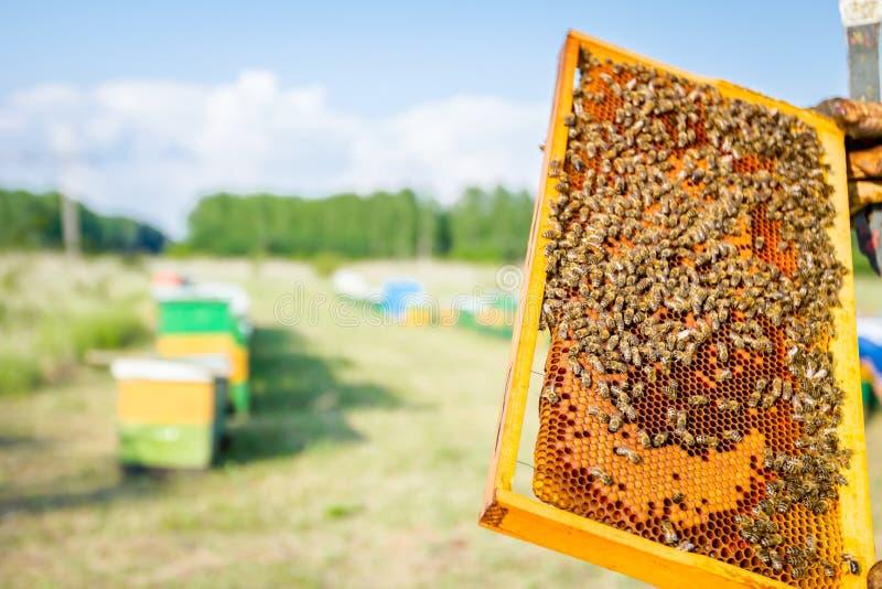 L'Apiarist, apiculteur tient le nid d'abeilles avec des abeilles photographie stock libre de droits