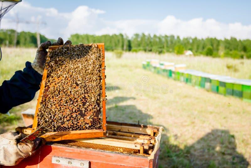 L'Apiarist, apiculteur tient le nid d'abeilles avec des abeilles photo libre de droits