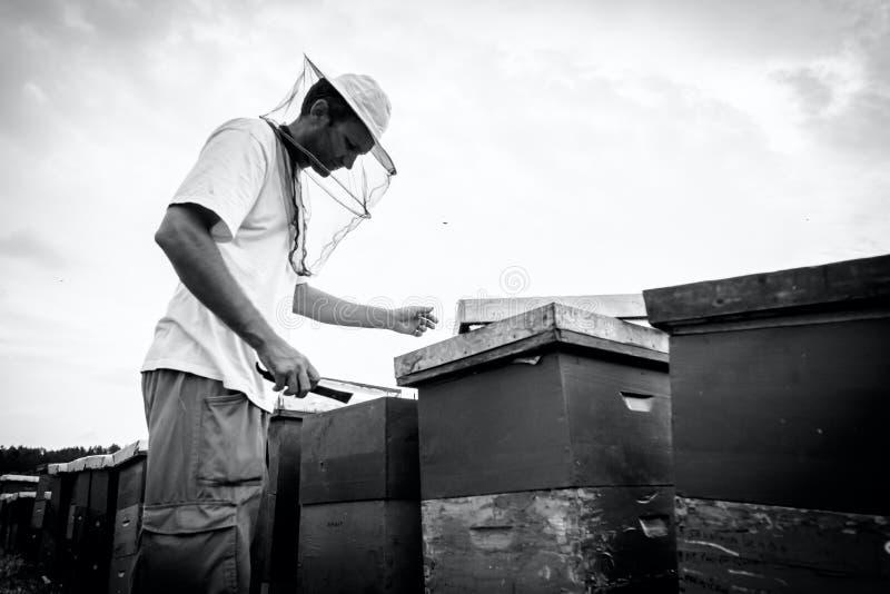 L'Apiarist, apiculteur vérifie des abeilles sur le cadre en bois de nid d'abeilles photographie stock libre de droits