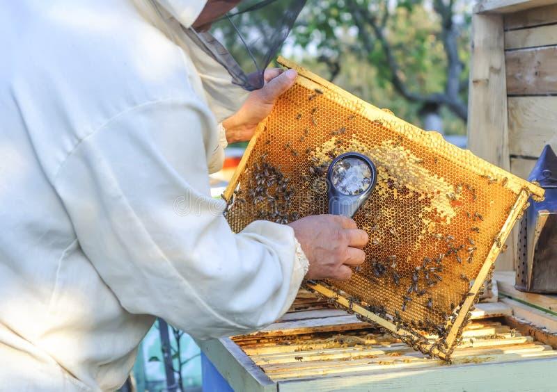 L'apiculteur considèrent des abeilles en nids d'abeilles avec une loupe photos libres de droits