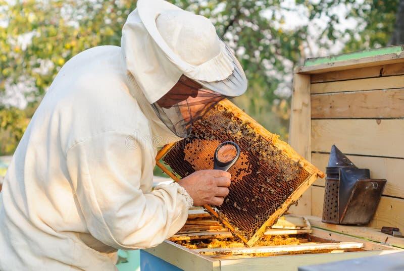 L'apiculteur considèrent des abeilles en nids d'abeilles avec une loupe photo stock