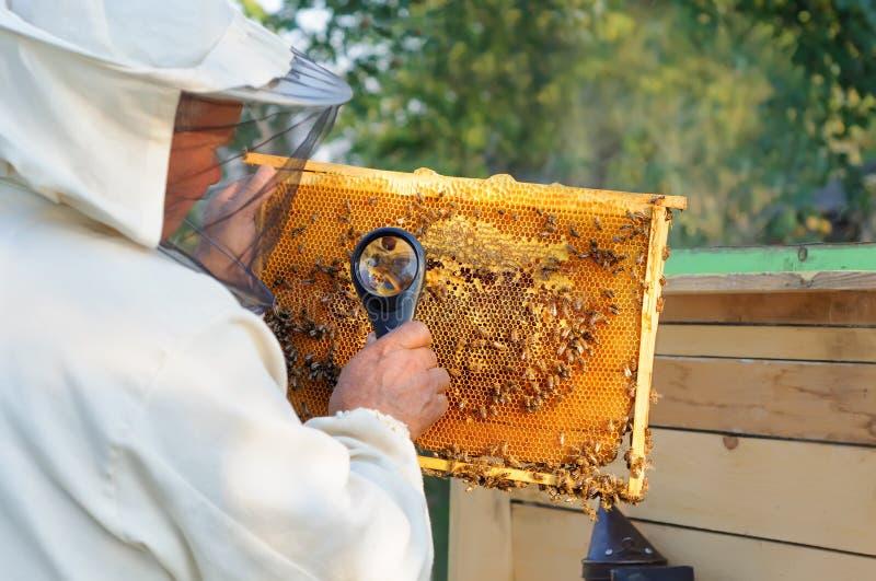 L'apiculteur considèrent des abeilles en nids d'abeilles avec une loupe Apiculture photo stock