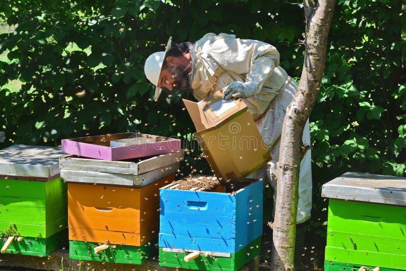 L'apiculteur secoue l'essaim de paquet des abeilles dans la ruche bleue - détail photo libre de droits