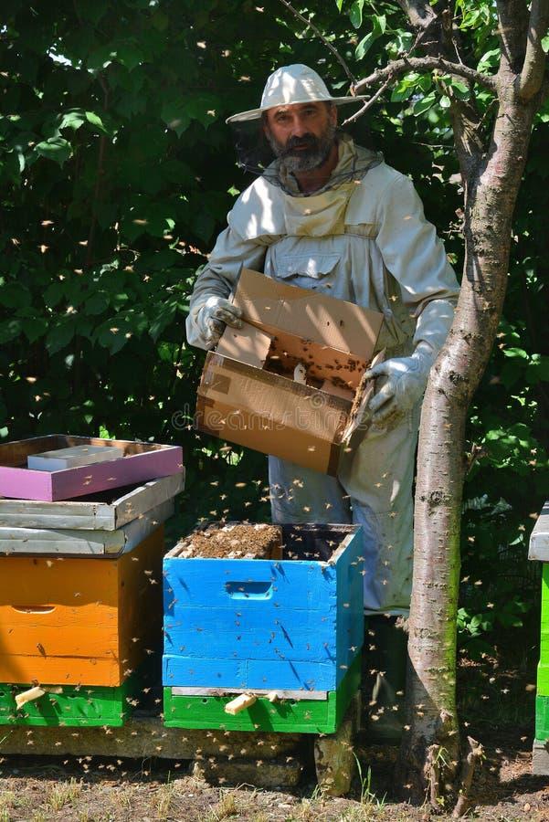 L'apiculteur secoue l'essaim de paquet des abeilles dans la ruche bleue - détail image libre de droits