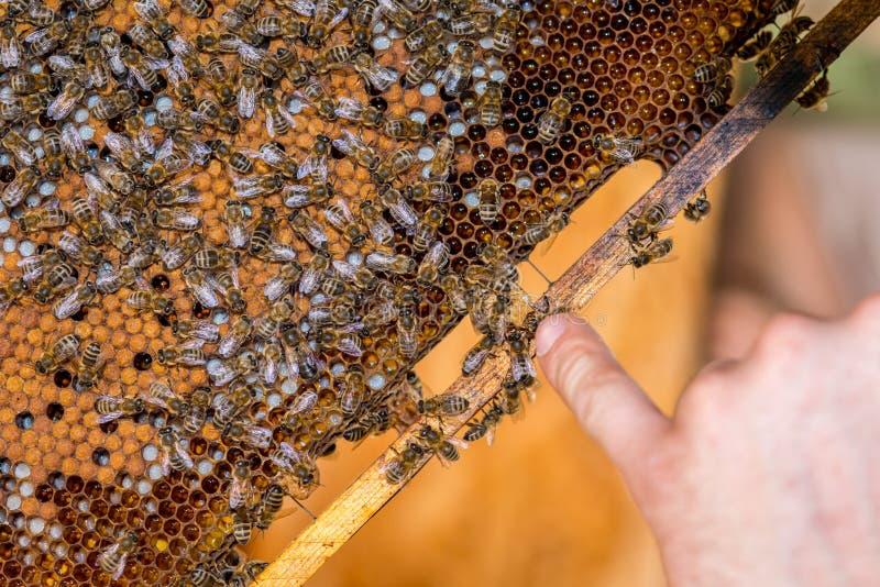 L'apiculteur vérifiant le nid d'abeilles photographie stock