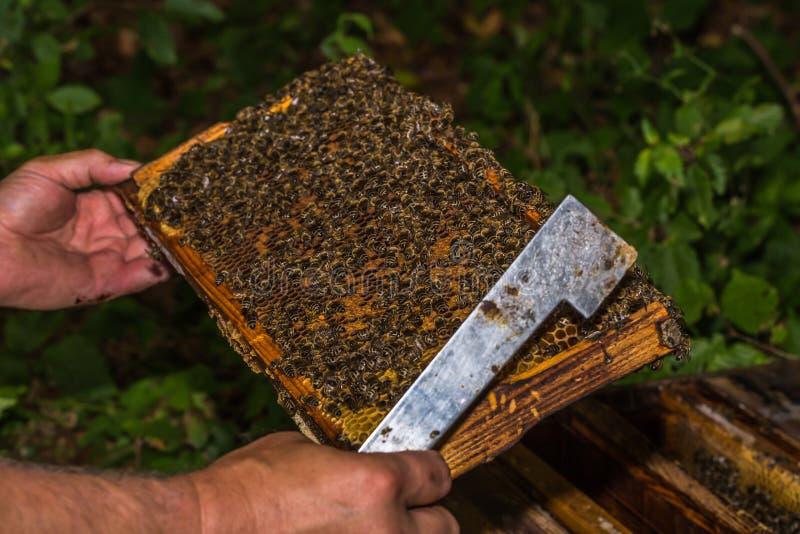 L'apiculteur vérifie le nid d'abeilles enlevé de la ruche image libre de droits