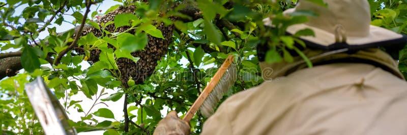 l'apiculture L'apiculteur rassemblant les abeilles ?chapp?es grouillent d'un arbre Fond de rucher photographie stock libre de droits