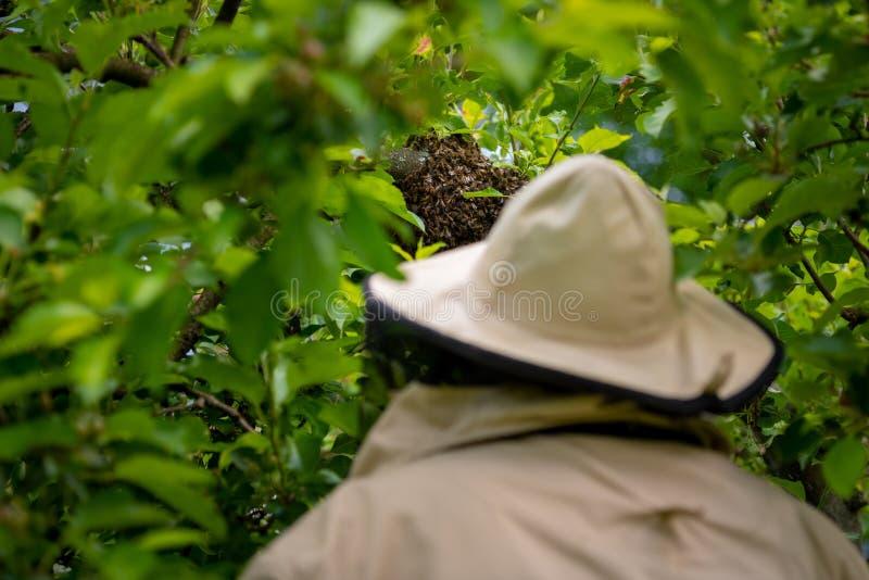 l'apiculture L'apiculteur rassemblant les abeilles ?chapp?es grouillent d'un arbre Fond de rucher photographie stock