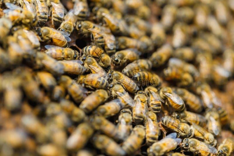 L'apiculture, fin des abeilles dans une ruche sur le nid d'abeilles, image stock