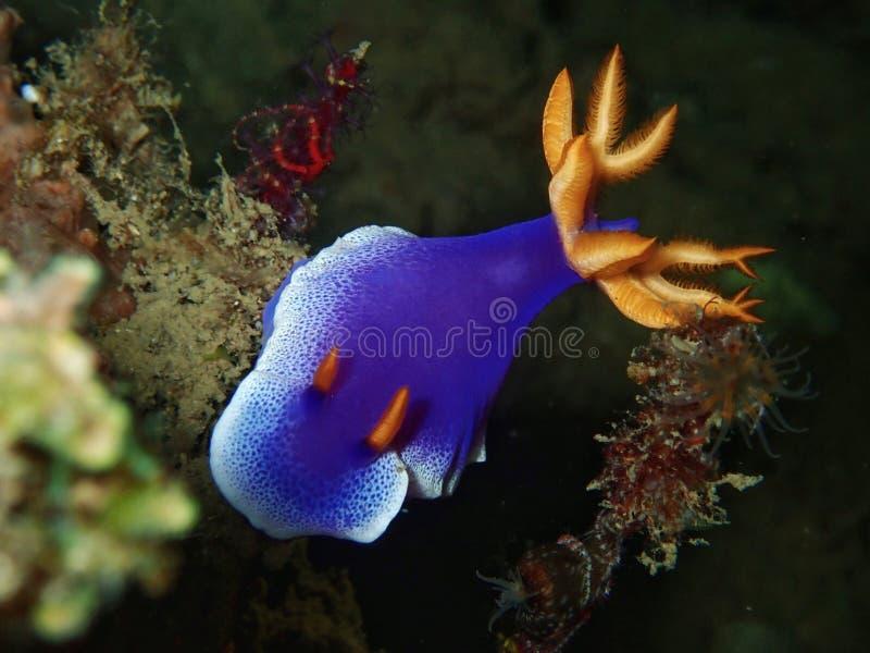 L'apolegma de Hypselodoris est des espèces du lingot de mer ou du nudibranch de dorid, un mollusque gastéropode marin dans la fam photographie stock