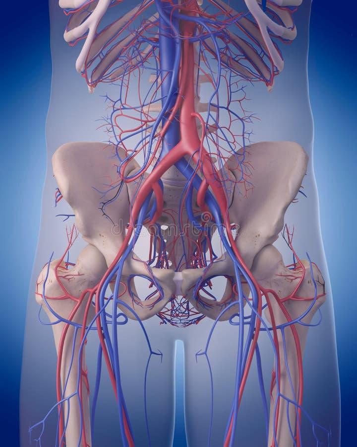 L'appareil circulatoire - abdomen illustration de vecteur