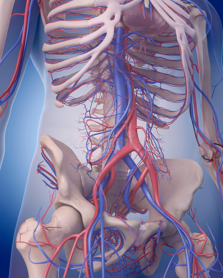 L'appareil circulatoire - abdomen illustration libre de droits