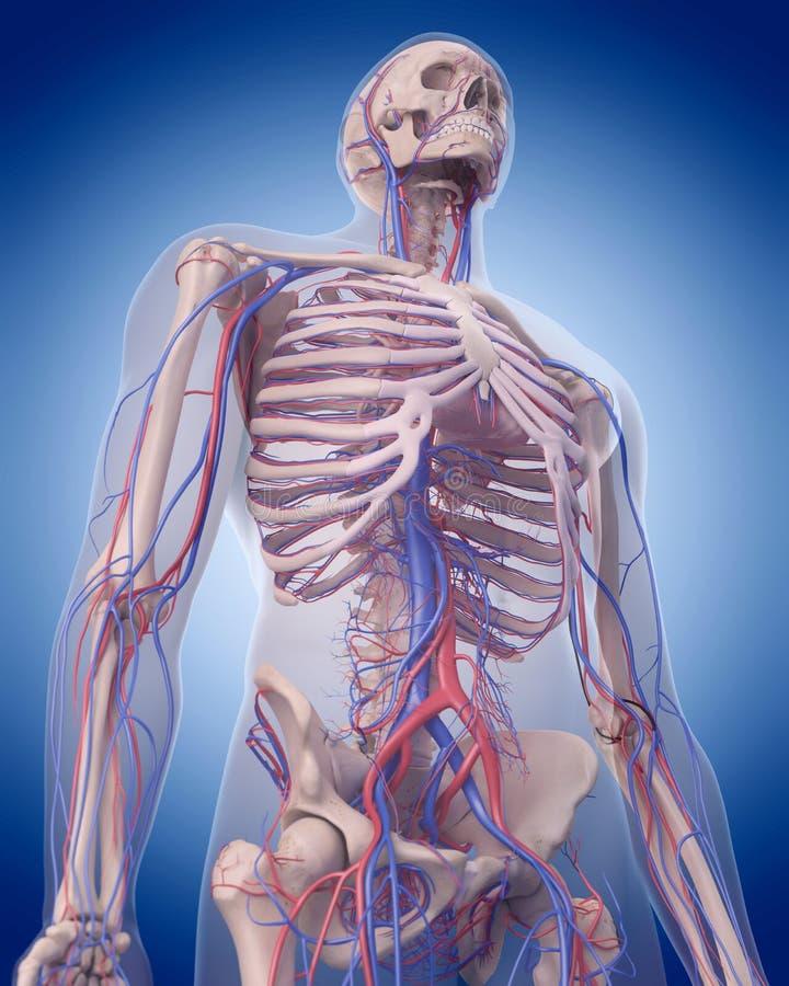 L'appareil circulatoire - corps supérieur illustration de vecteur