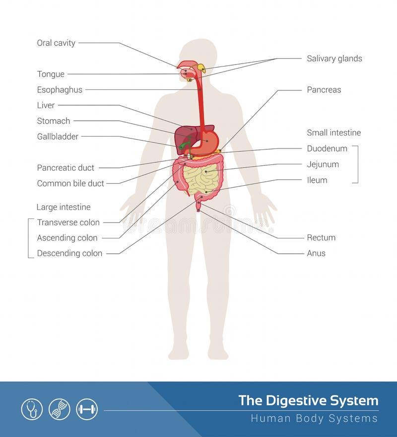 L'appareil digestif illustration de vecteur