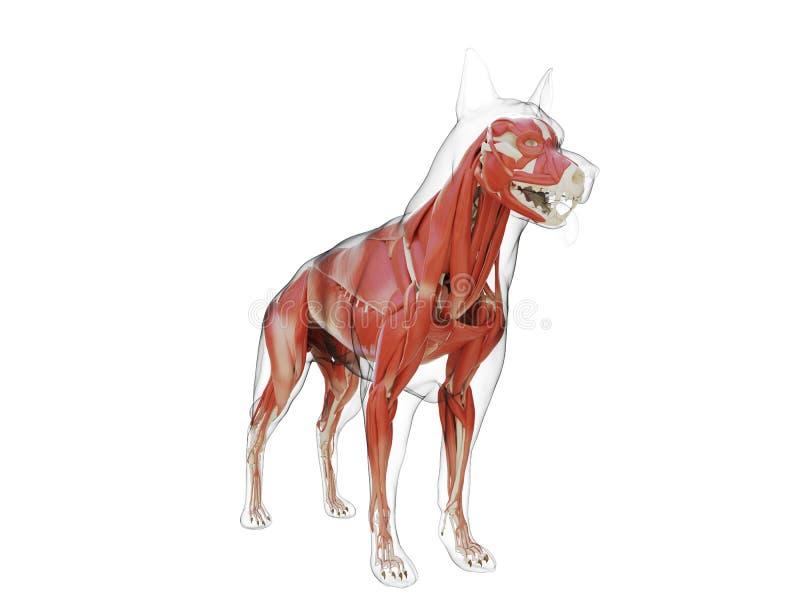 L'appareil musculaire de chiens illustration stock