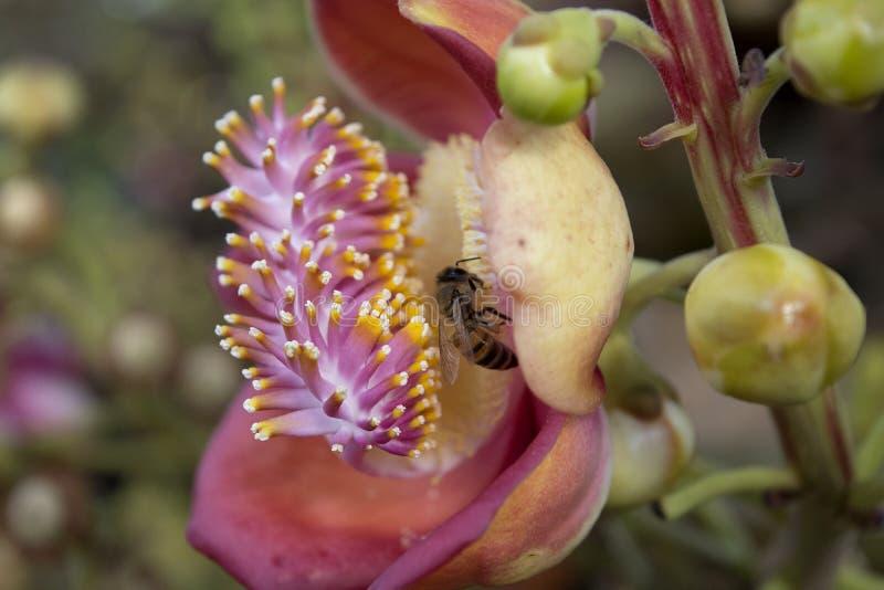 L'apparence de fleur de boulet de canon a plié la forme et les staminoides avec l'abeille photos libres de droits