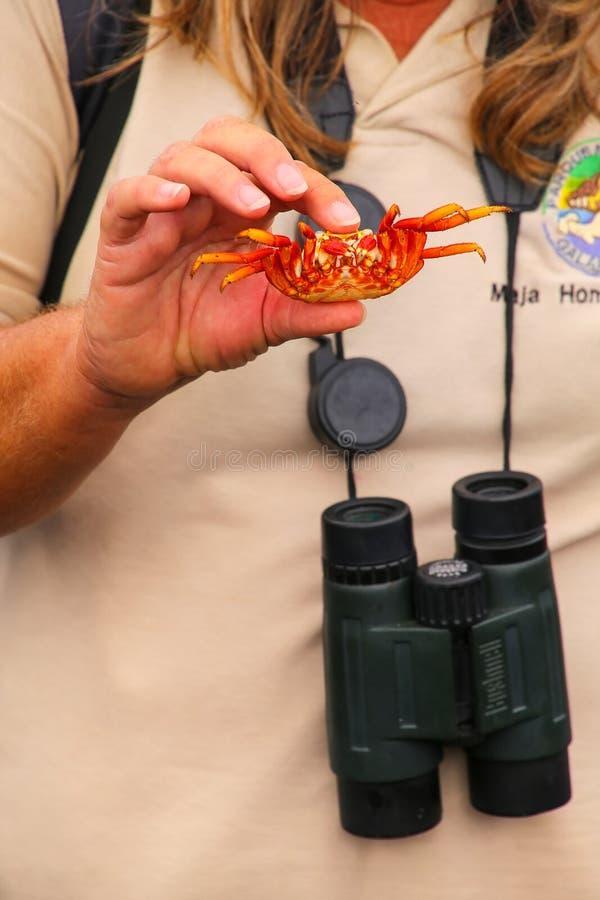 L'apparence de guide de naturaliste a jeté la coquille du crabe de lightfoot de sortie image libre de droits