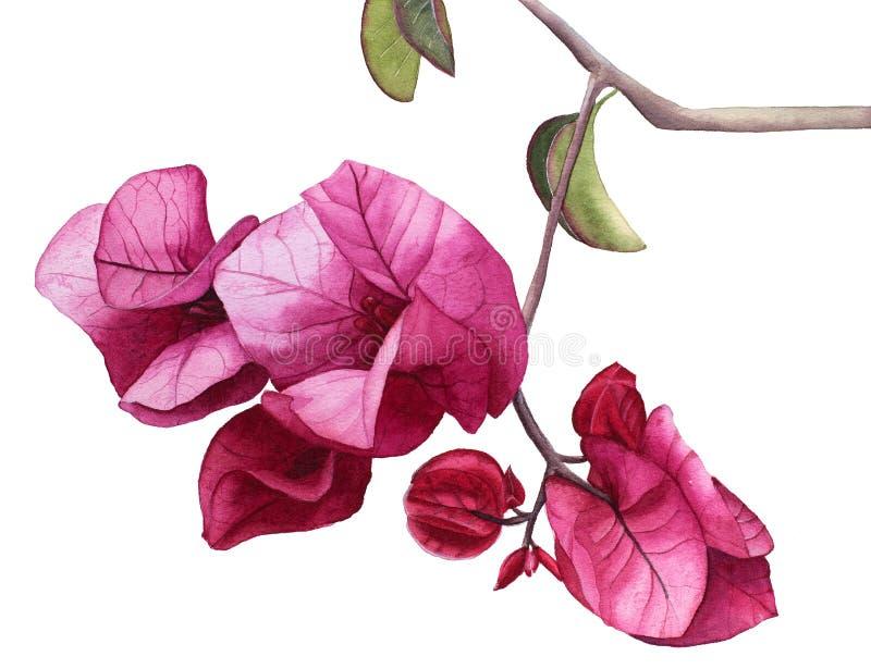 L'aquarelle fleurit la bouganvillée rose illustration stock