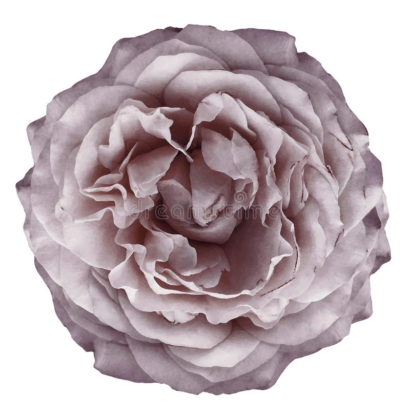 L'aquarelle s'est levée fleur rouge-clair sur le fond d'isolement blanc avec le chemin de coupure closeup Pour la conception photos stock