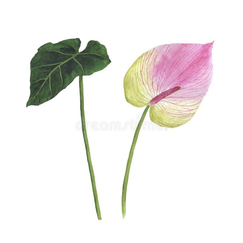 L'aquarelle tropicale de fleurs a placé l'anthure botanique d'illustration illustration libre de droits