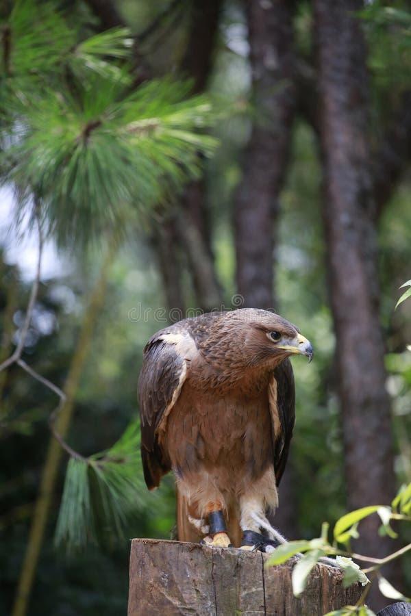 L'aquila è un piccolo rapace A differenza degli uccelli normali, le femmine tendono ad essere più grandi dei maschi L'aquila è fe immagine stock libera da diritti
