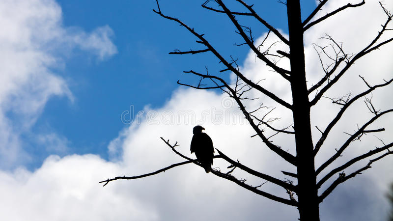 L'aquila calva americana Stunning si è appollaiata su un albero fotografie stock libere da diritti