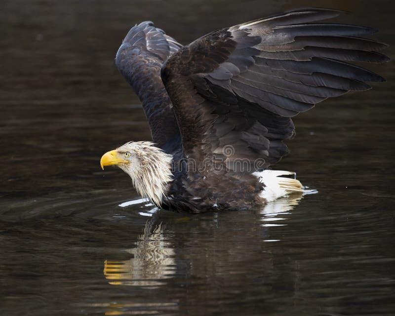 L'aquila calva ha atterrato sull'acqua per afferrare un pesce immagine stock