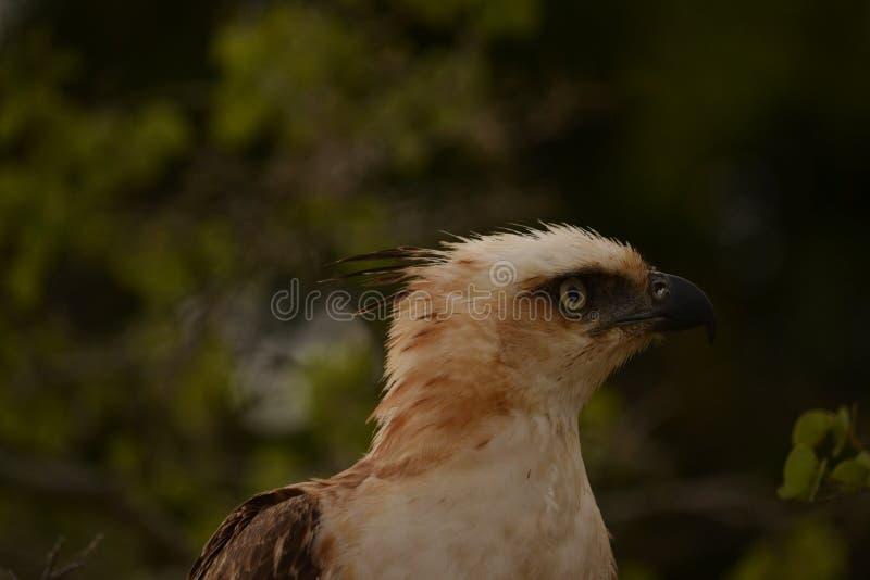 L'aquila crestata del falco gli occhi è molto tagliente, là è piume sulla testa della testa fotografia stock