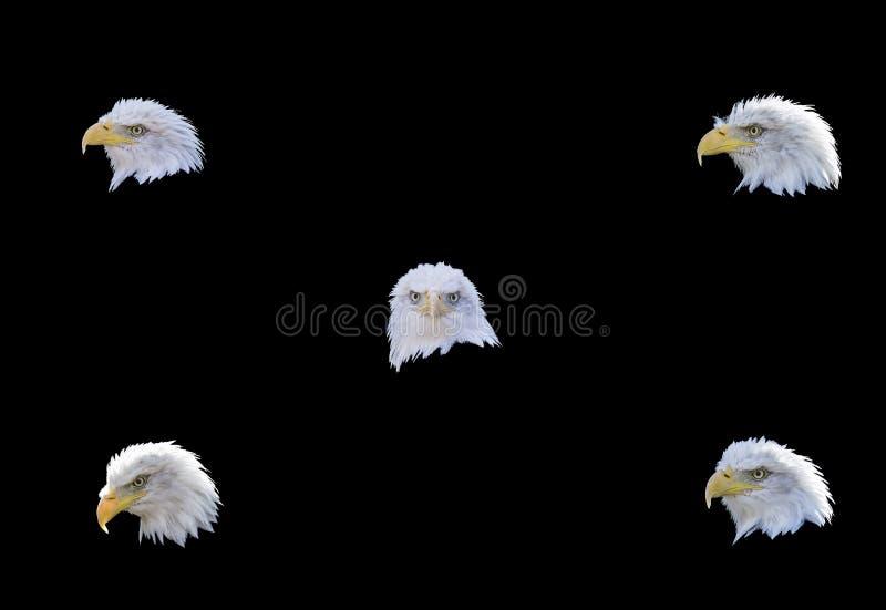 L'aquila matura del collage dirige il ritratto isolato fotografia stock libera da diritti