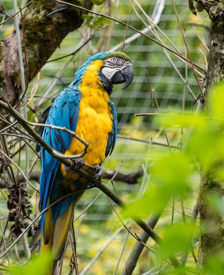 L'ara Bleu-et-jaune, ararauna d'arums est un grand perroquet sud-am?ricain images libres de droits