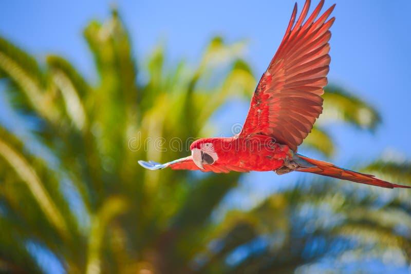 L'ara dans le vol gratuit dans les oiseaux exotiques montrent au parc de Palmitos dans Maspalomas, mamie Canaria, Espagne image stock
