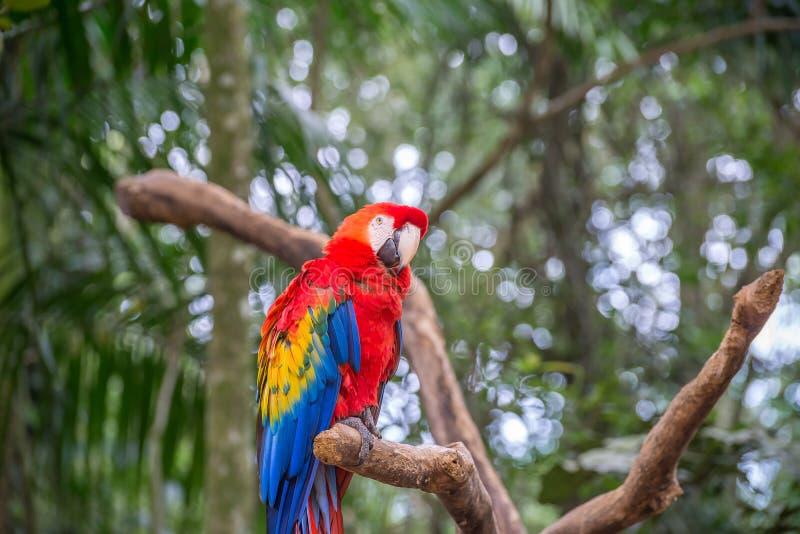 L'ara rossa, blu e gialla nel Brasile fotografie stock