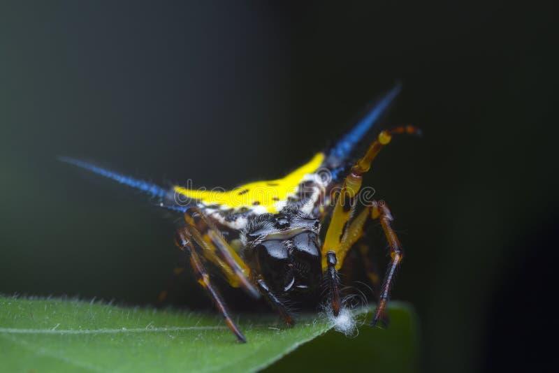 L'araignée épineuse de Hasselt sur la feuille verte photographie stock