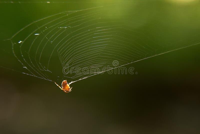 L'araignée accroche sur le Web pour rougeoyer reflétante les rayons du soleil photographie stock libre de droits