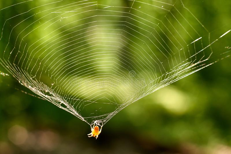 L'araignée accroche sur le Web pour rougeoyer reflétante les rayons du soleil images libres de droits