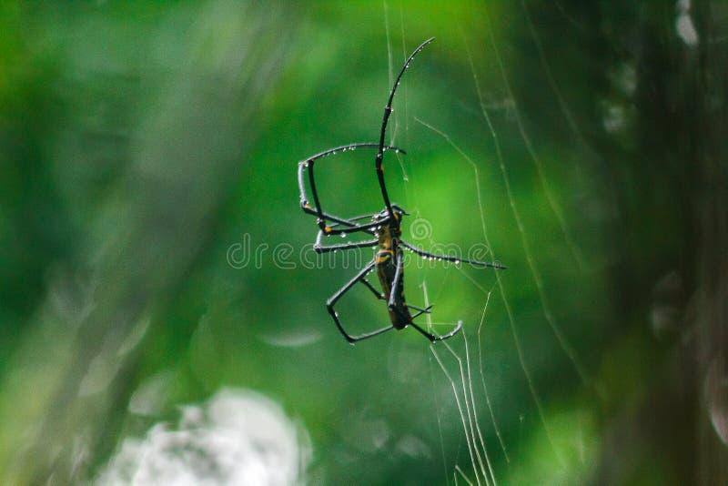 L'araignée d'or de Globe-tisserand tricotent de grandes fibres suivant la ligne verticale entre les arbres photo libre de droits