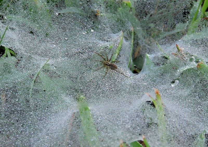 L'araignée d'herbe émergeant d'une rosée a couvert le Web d'entonnoir image stock
