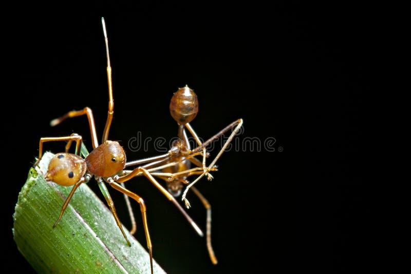 L'araignée d'imitateur de fourmi avec sa nourriture photographie stock