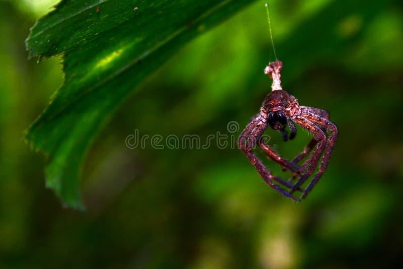 L'araignée de Brown est sur la toile d'araignée photos stock