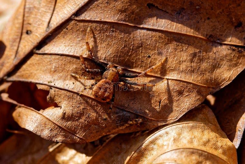 L'araignée de Brown se repose sur la vieille feuille image libre de droits