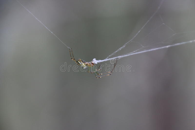 L'araignée le réparant est Web photos libres de droits