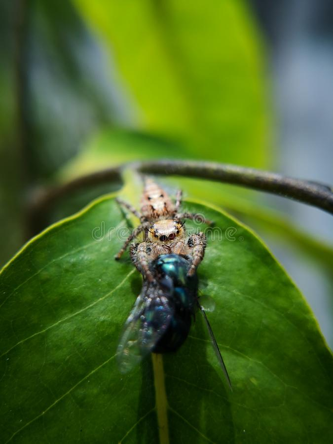 L'araignée sautante femelle, les salticidae latins de nom a capturé la proie, une mouche de bleuet qui plus grande que sa taille photos stock