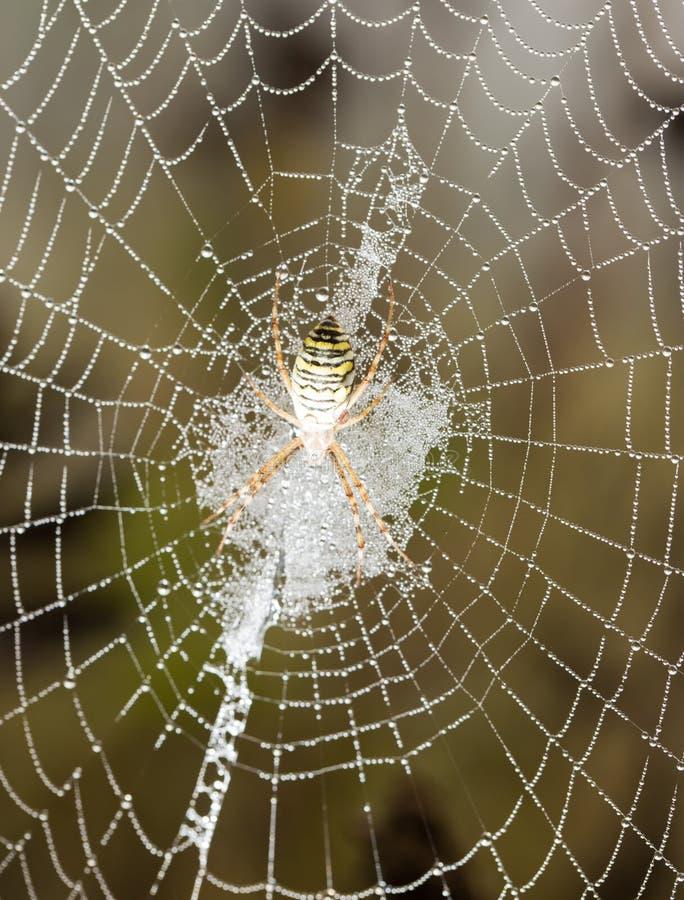 L'araignée se repose sur un Web humide photo stock