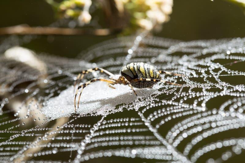 L'araignée se repose sur un Web humide photographie stock libre de droits
