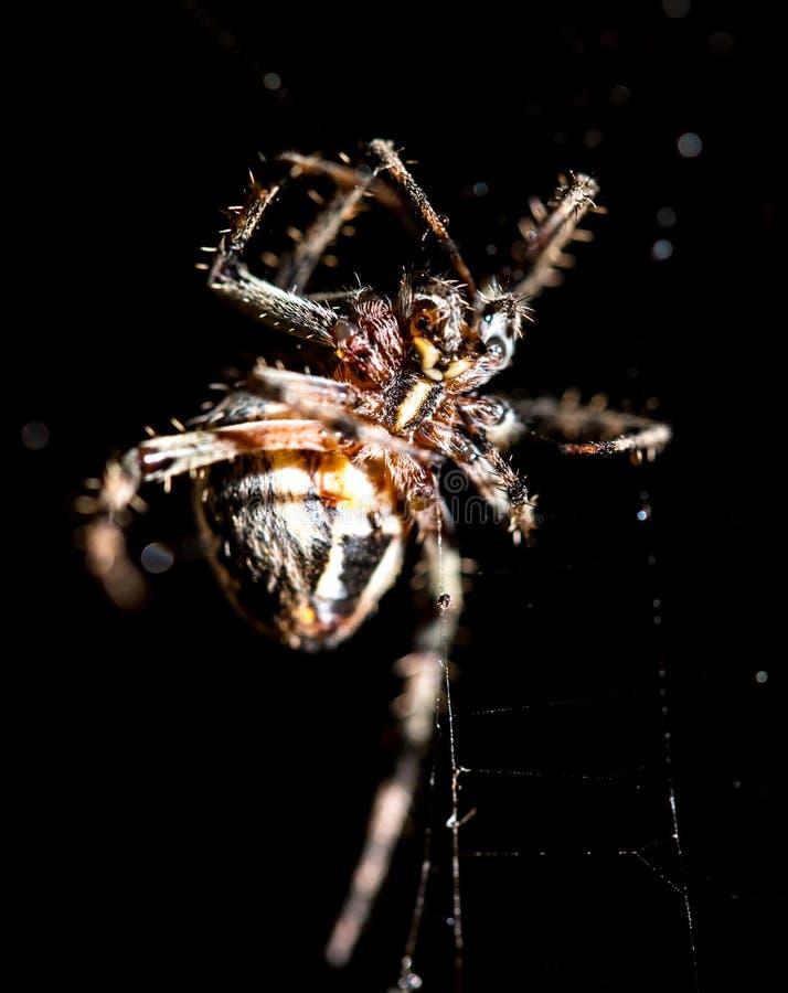 L'araignée se repose sur un Web sur la chasse photos libres de droits