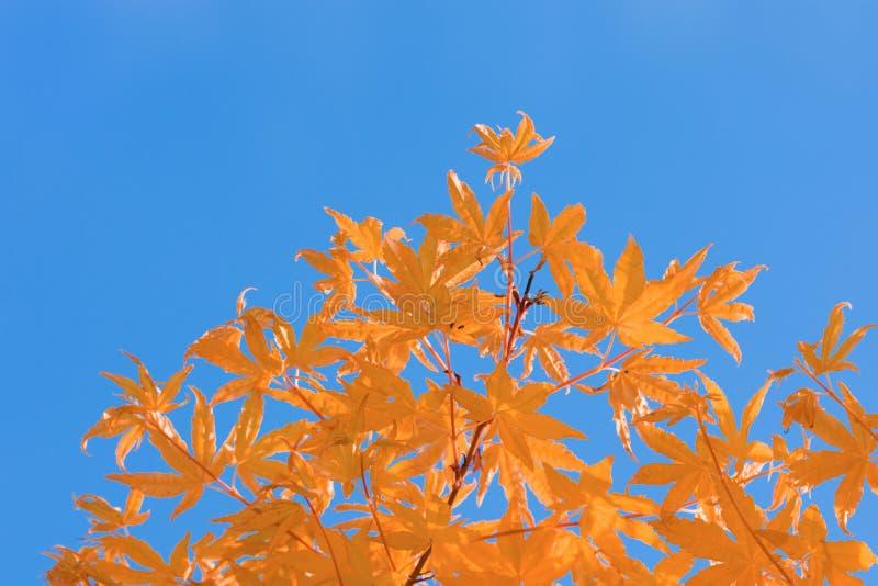 L'arancia lascia ad autunno del cielo blu il contrasto complementare immagini stock libere da diritti