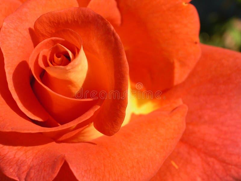 L Arancio è Aumentato Fotografia Stock