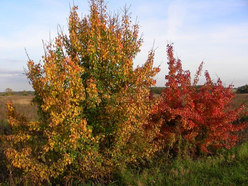 L'arancio ed il cespuglio rosso prendono l'ultimo raggio del sole prima della notte di autunno immagini stock libere da diritti