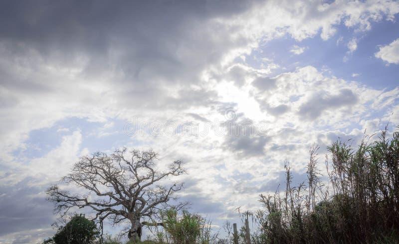 L'arbre antique de Paineira et de son mystère 01 photos stock
