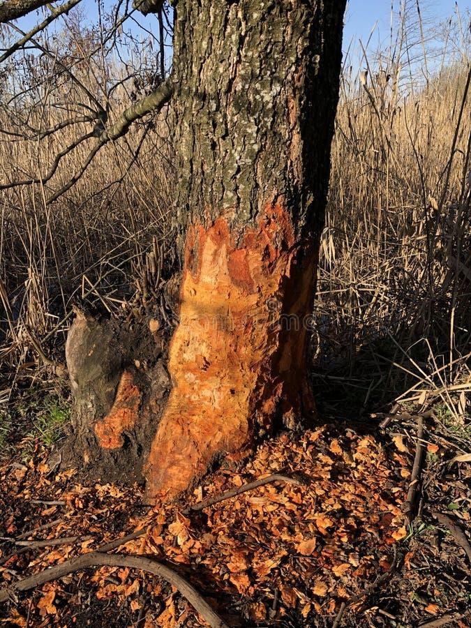 l'arbre après les travaux de castor image stock